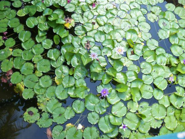 Water lilies in bloom stock photo