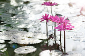 istock Water lilies in Thailand. 1064926720