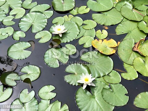 Water lilies in the lake of park Maksimir - Zagreb, Croatia (Hrvatska)