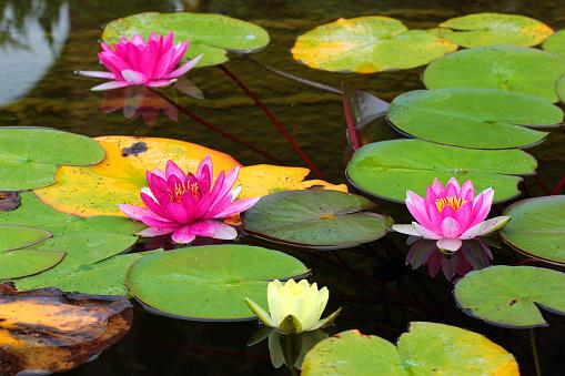 Lotus flower, nelumbo nucifera isolated on white background.