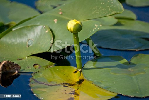 Flowers in the water in a Florida canal