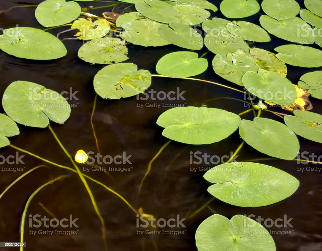 Water lilies on a water surface stock photo
