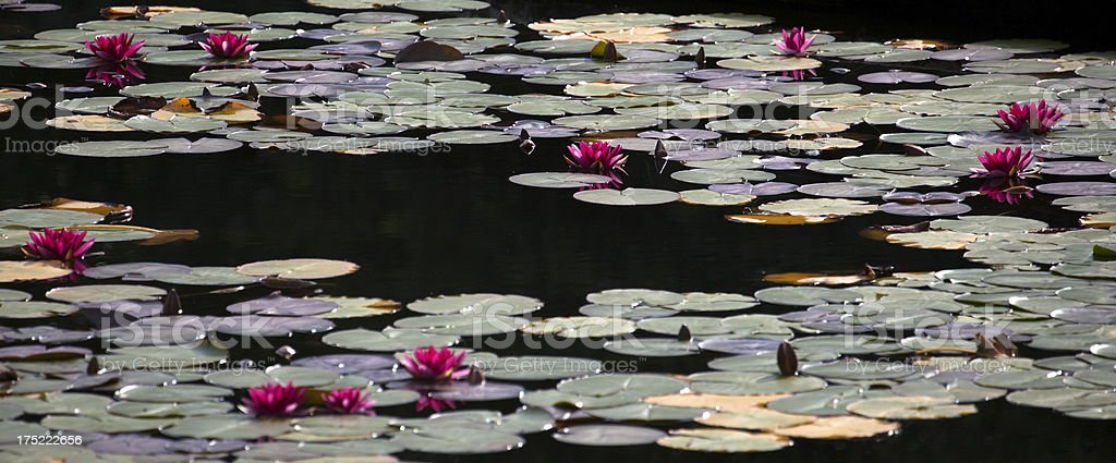 Water Lilies on Garden Pond (Nymphaeaceae) royalty-free stock photo