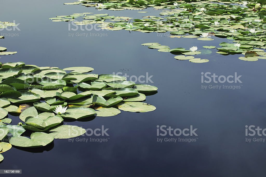 Water Lilies On Lake stock photo
