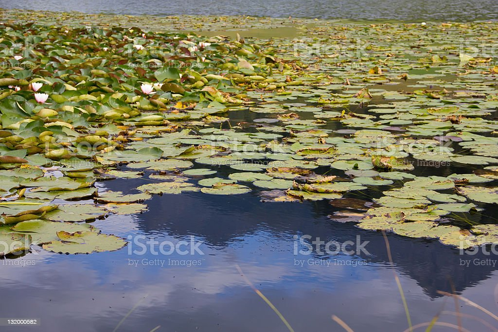 water lilies on the pond royalty-free stock photo
