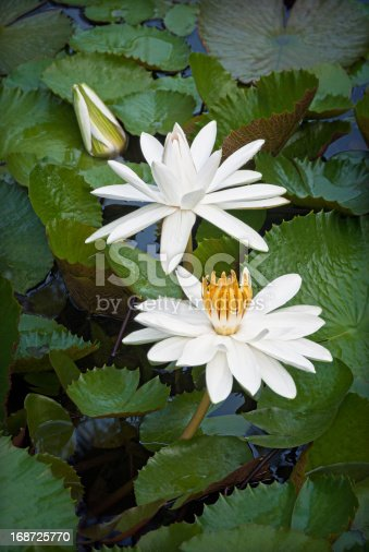 Three white water lilies/lotus blossoms in a pond..