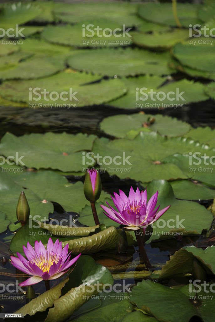 Water lilies royaltyfri bildbanksbilder