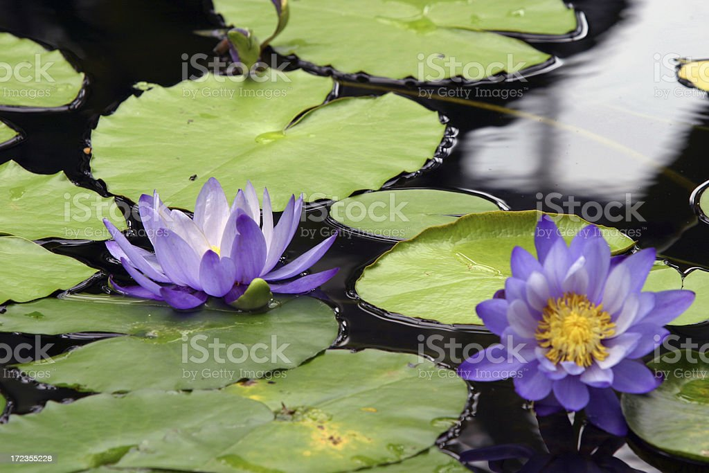 Water Lillies and Lilly pads floating royalty-free stock photo