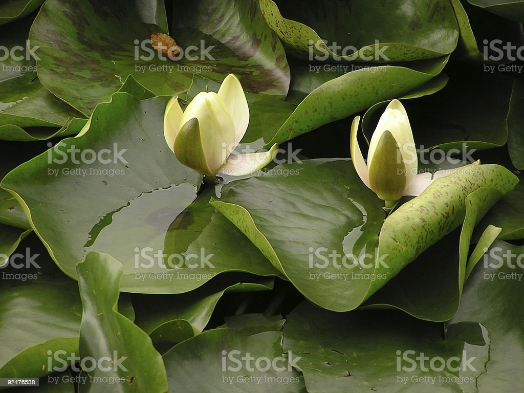 Water Lillies royalty-free stock photo
