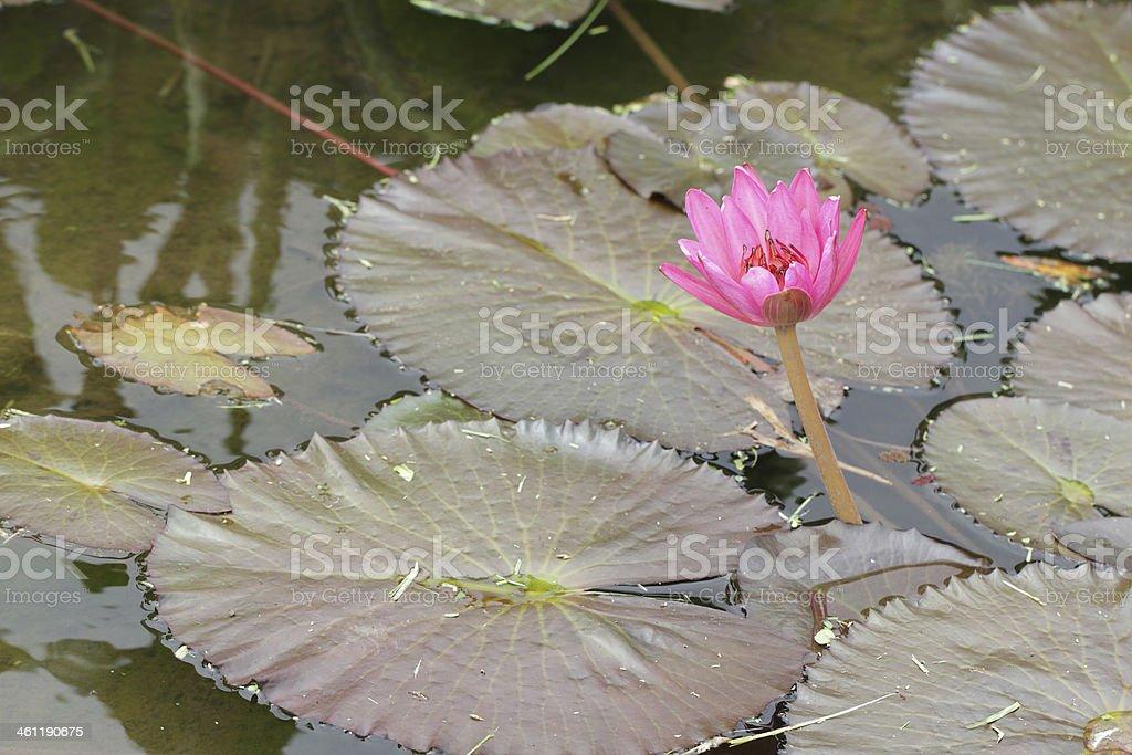 water lilly flower in Limahuli gardens, Kauai island stock photo