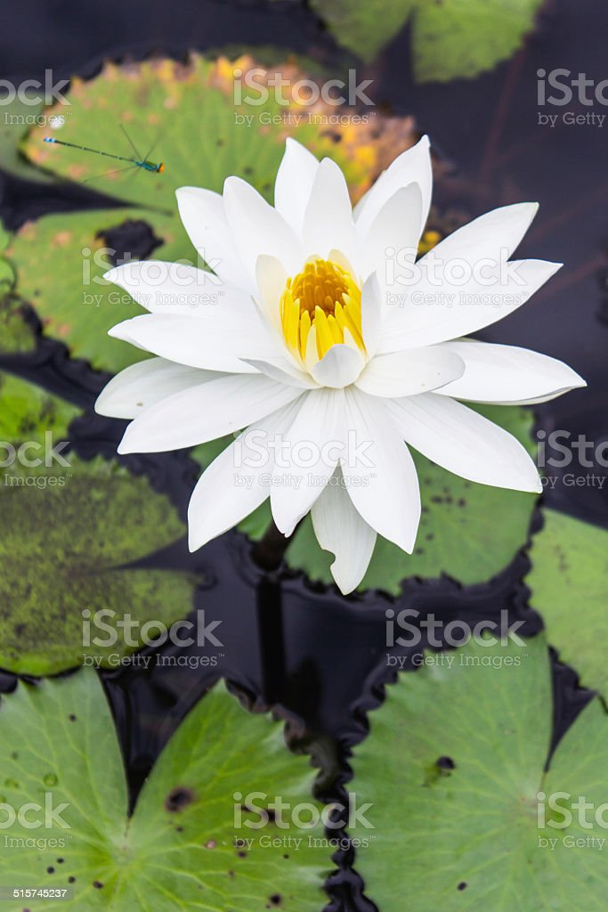 Water lilly, Lotus stock photo