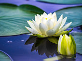 white water lily and bud on pond with reflection