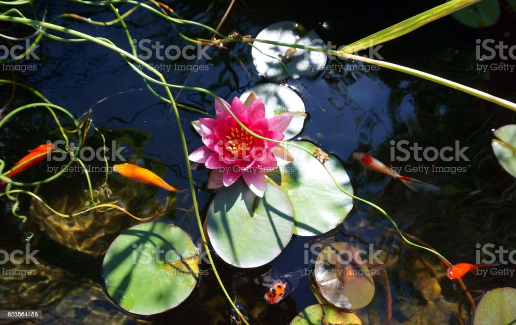 Water lily and goldfishes stock photo
