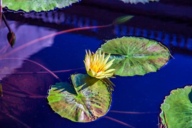 Water Lily and leaves on a Pond at Longwood Gardens in Kennitt Square, Pennsylvania
