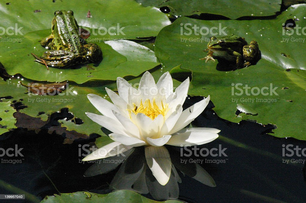 Water lily and two frogs royalty-free stock photo
