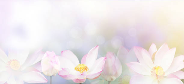 water lily background Banner floral abstract nature background. Pink blossom water lily with pastel vintage soft style. lotus water lily stock pictures, royalty-free photos & images