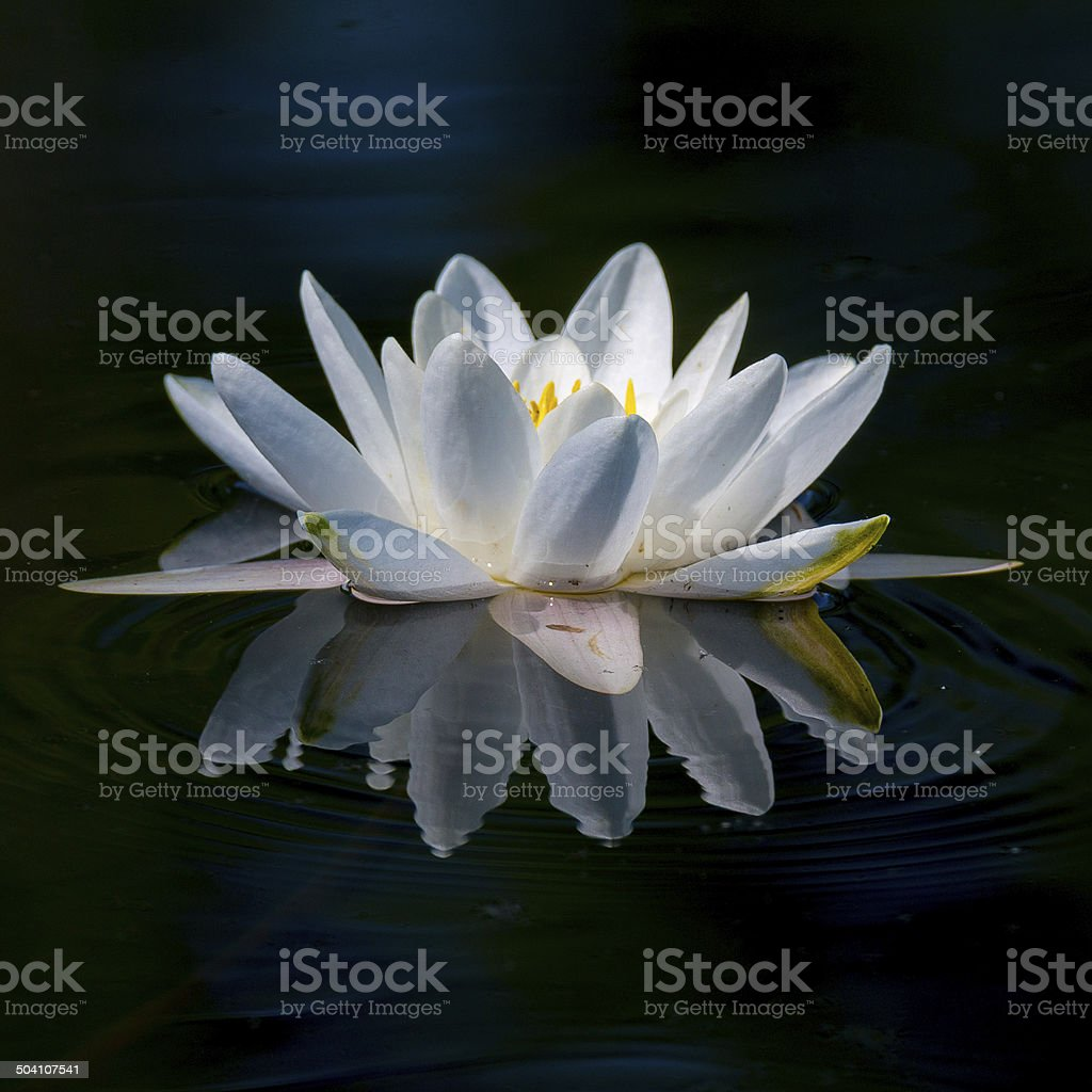 Water lily big focus stock photo