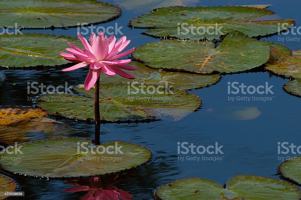 Water Lily Bloom royalty-free stock photo