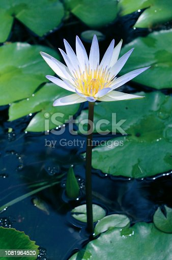 Water lily blooms in a pond, close-up view, Phuket, Thailand