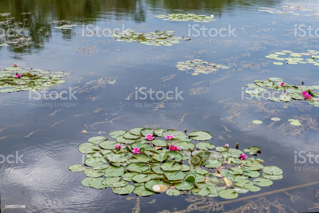 Water lily blooms in the pond. stock photo
