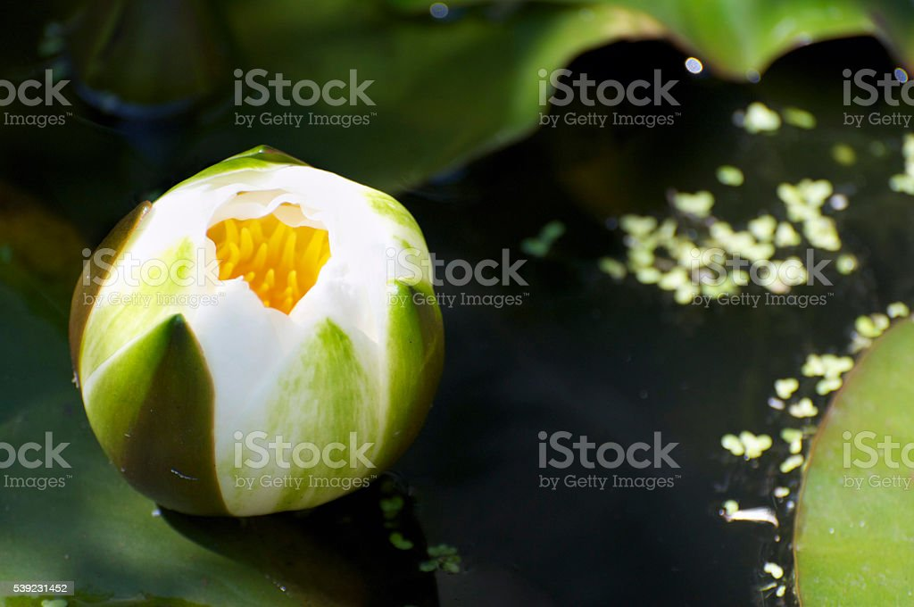 Water Lily bud on pond royalty-free stock photo