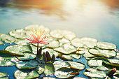 Water lily flower blooming on pond. Sunny summer day.\n