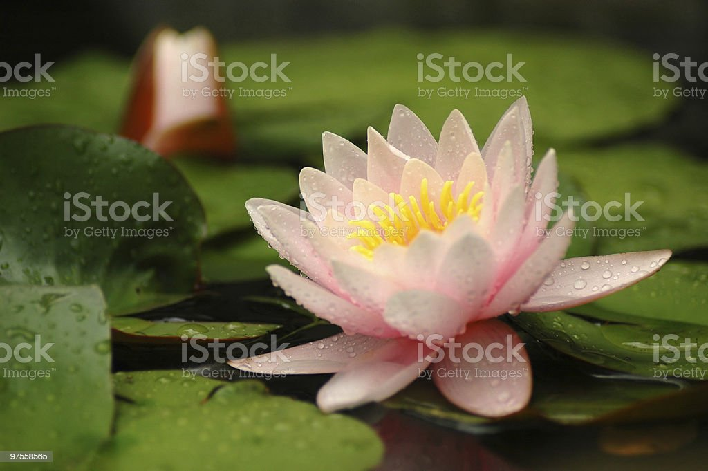 Water lily flower royalty-free stock photo