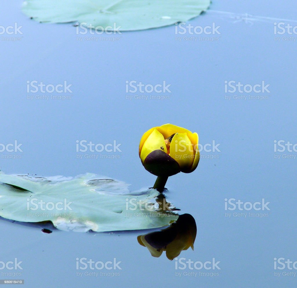 Water Lily Flower with hornet pollinator stock photo