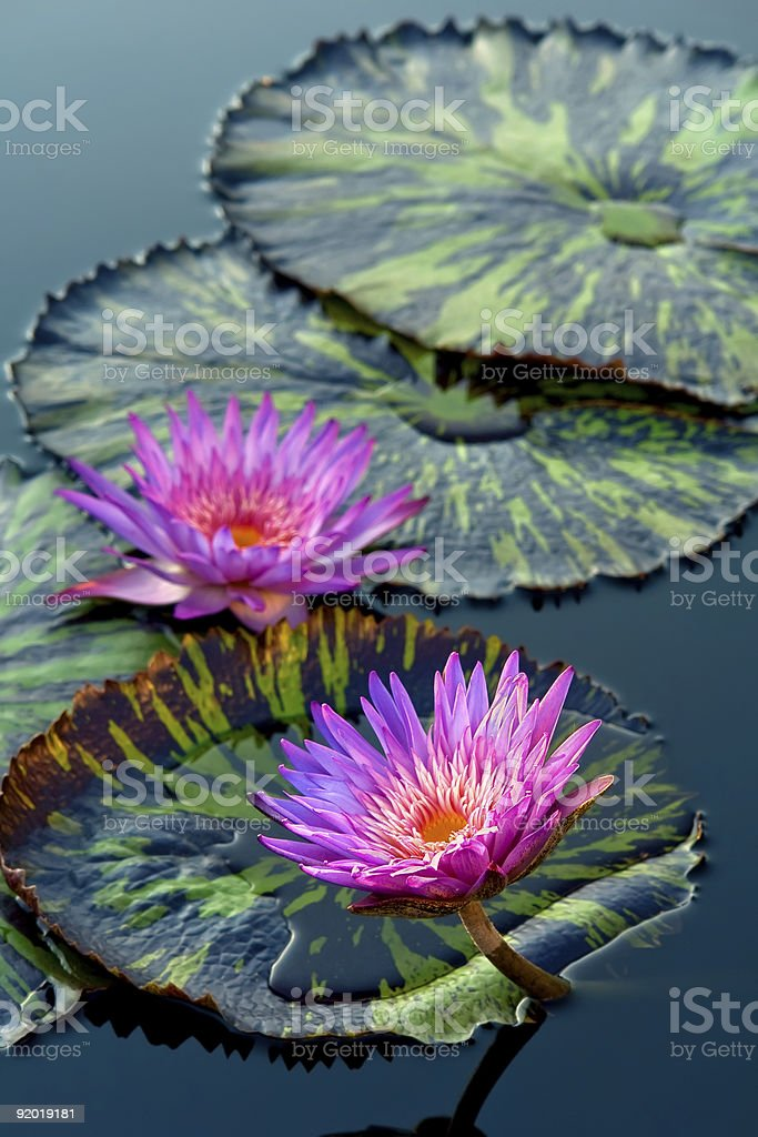 Water lily flowers royalty-free stock photo