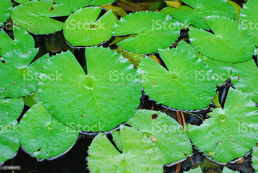 water lily frond after rain royalty-free stock photo