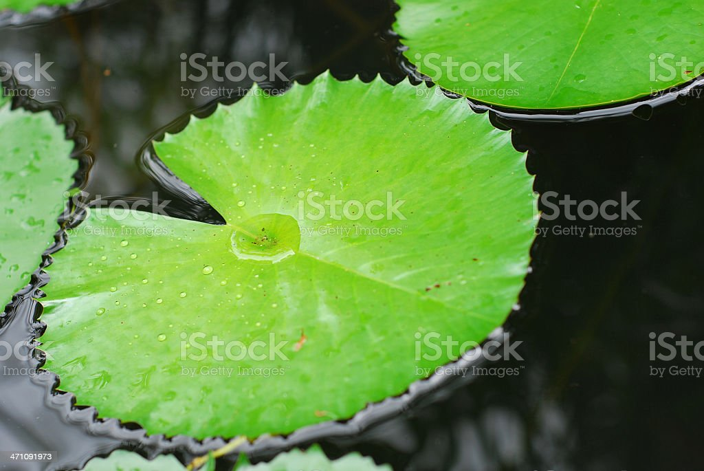 Water Lily Frond After the rain royalty-free stock photo