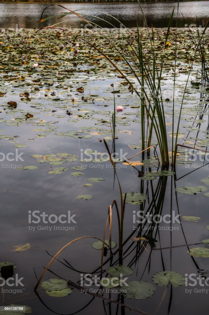 Water Lily in Hamilton lake, New Zealand foto stock royalty-free