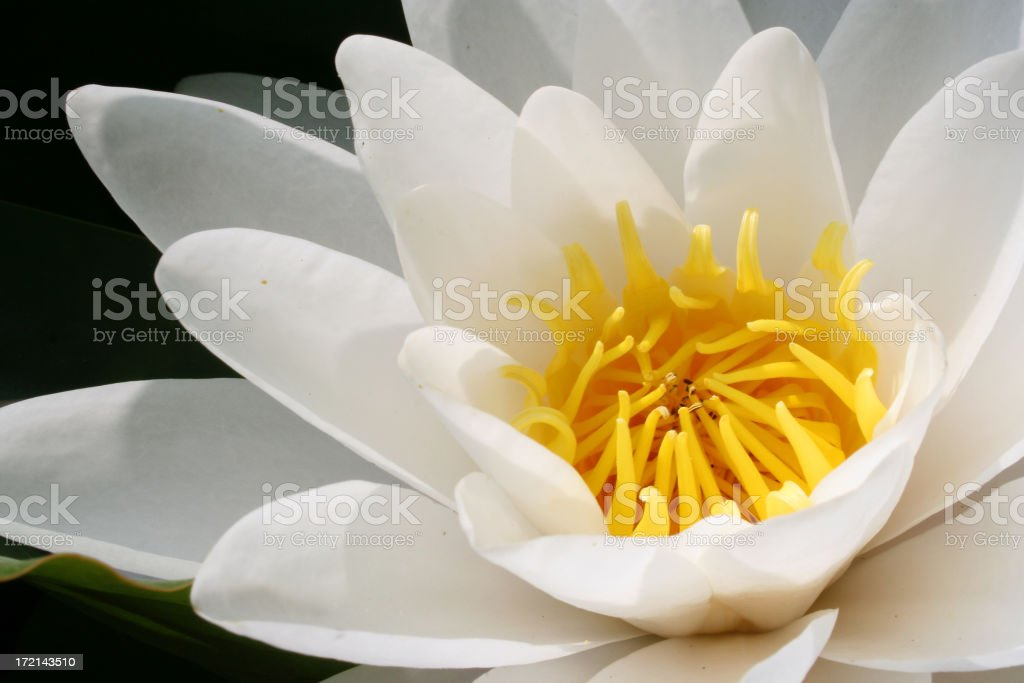 Seerose im Juni royalty-free stock photo