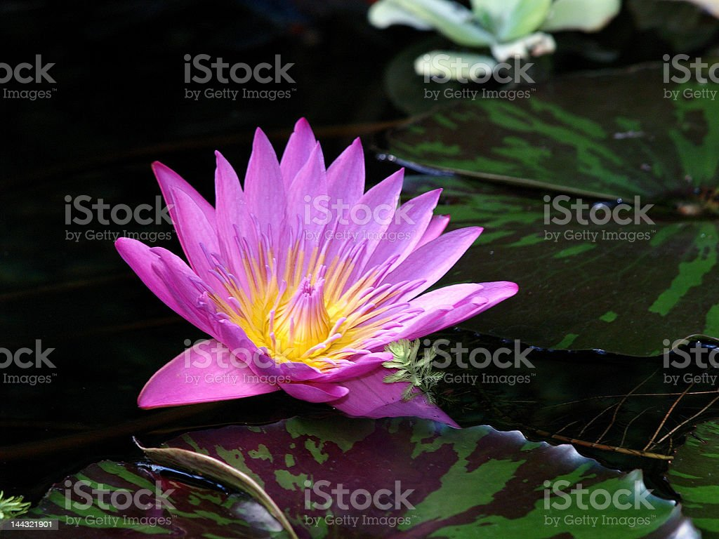 Water lily in pond. royalty-free stock photo