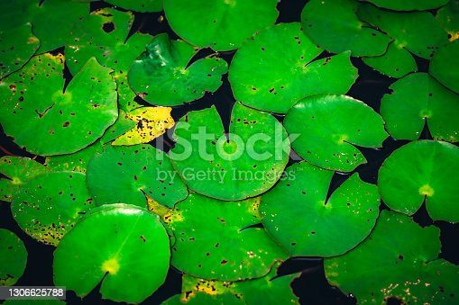 istock Water lily in the lake 1306625788