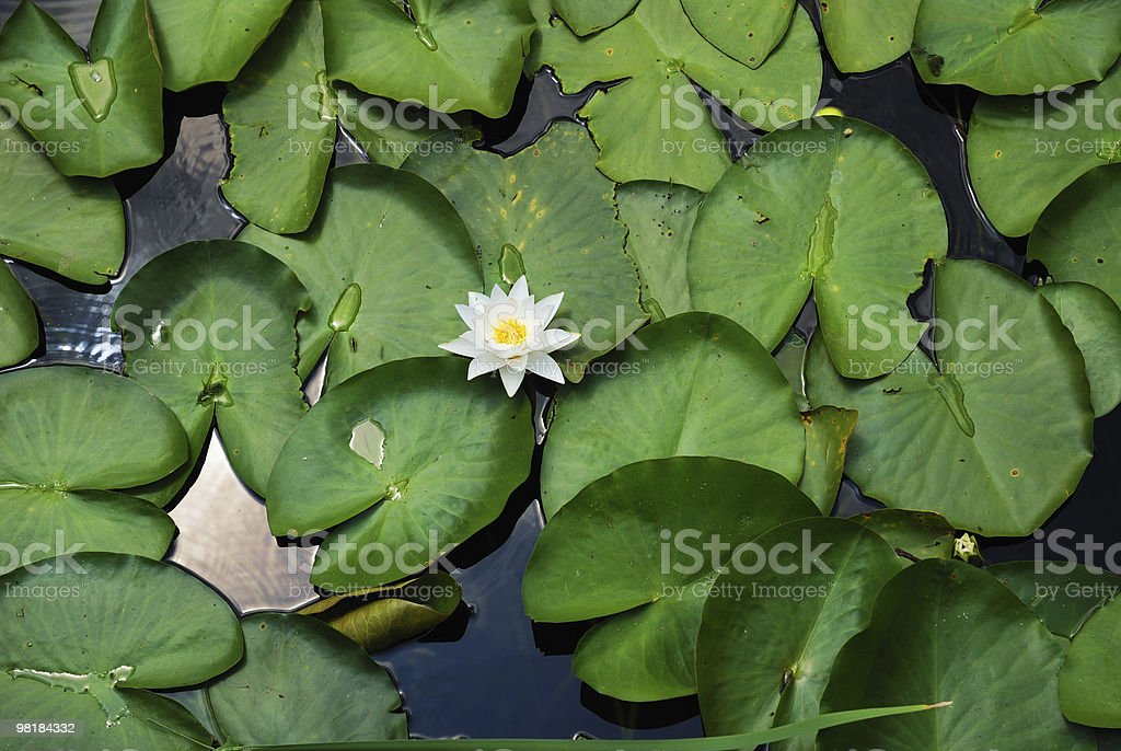 Water lily in the middle of green leaves royalty-free stock photo