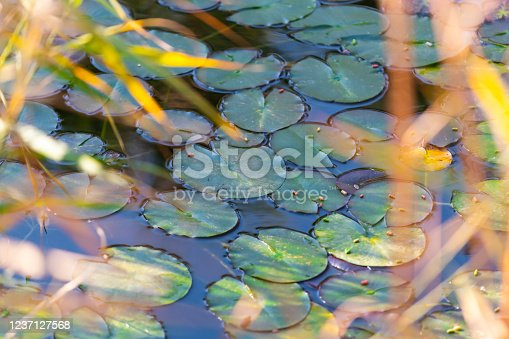 Water lily leaf in green lake
