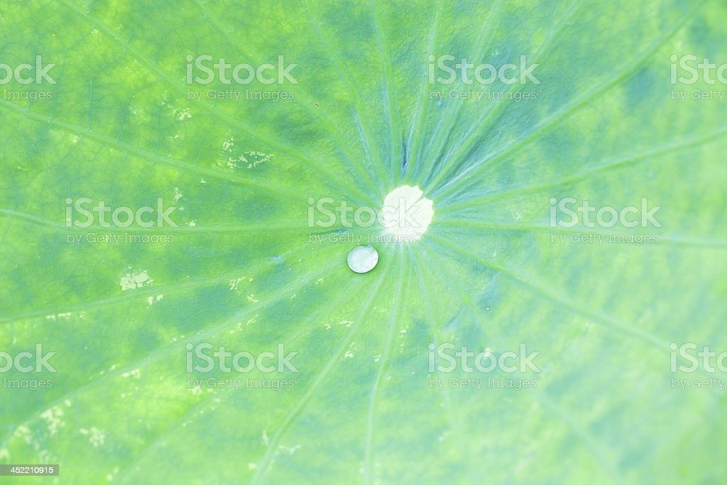 water lily leaf royalty-free stock photo