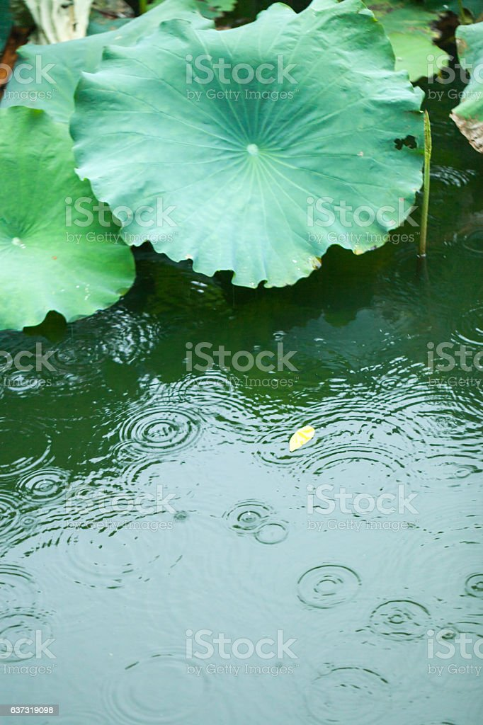 water lily leaf stock photo