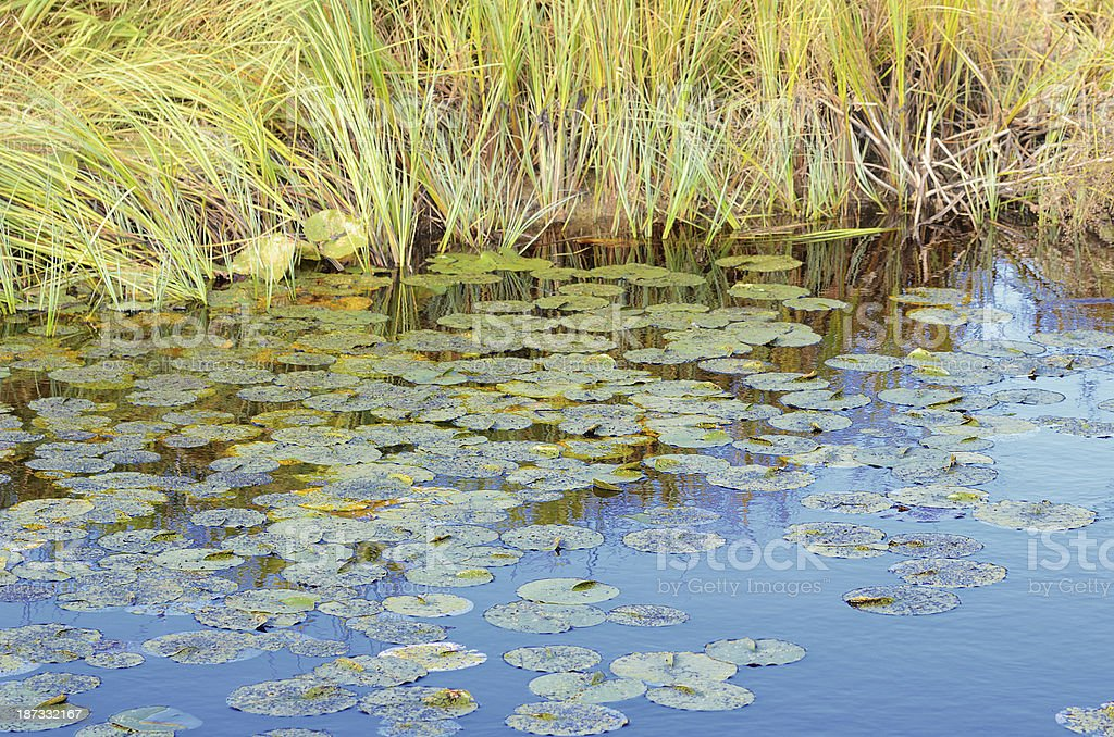 Water lily leaves in lake with grass royalty-free stock photo