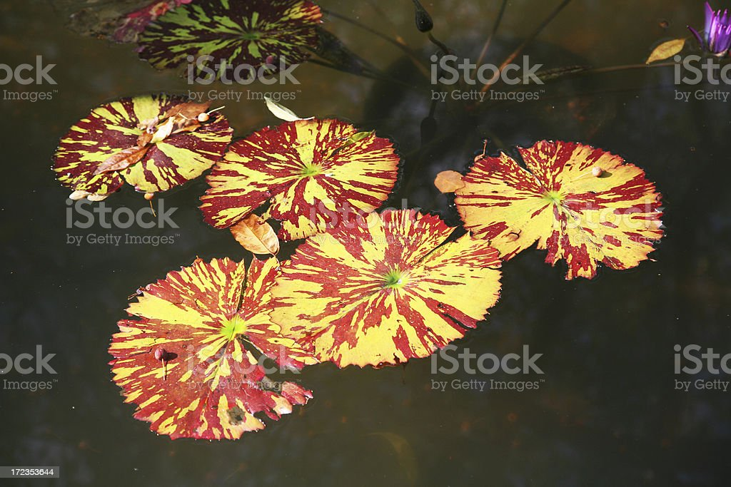 Water Lily Leaves In Pond royalty-free stock photo