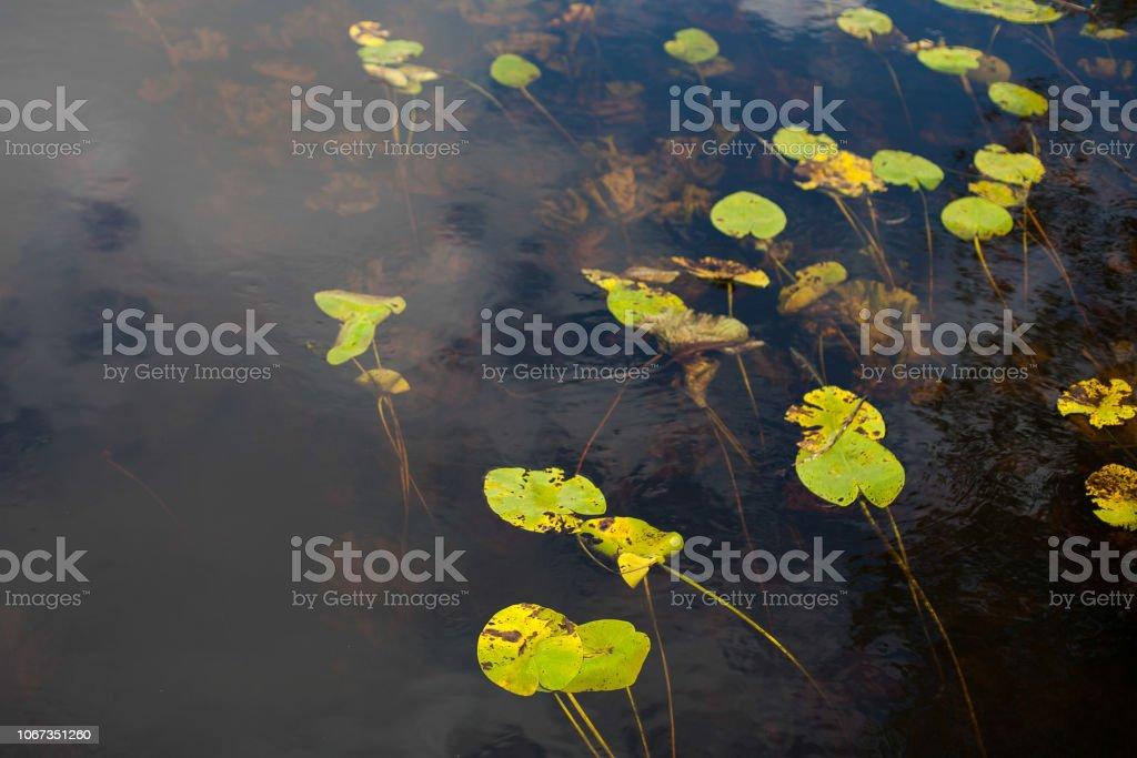Seerose-Blätter – Foto