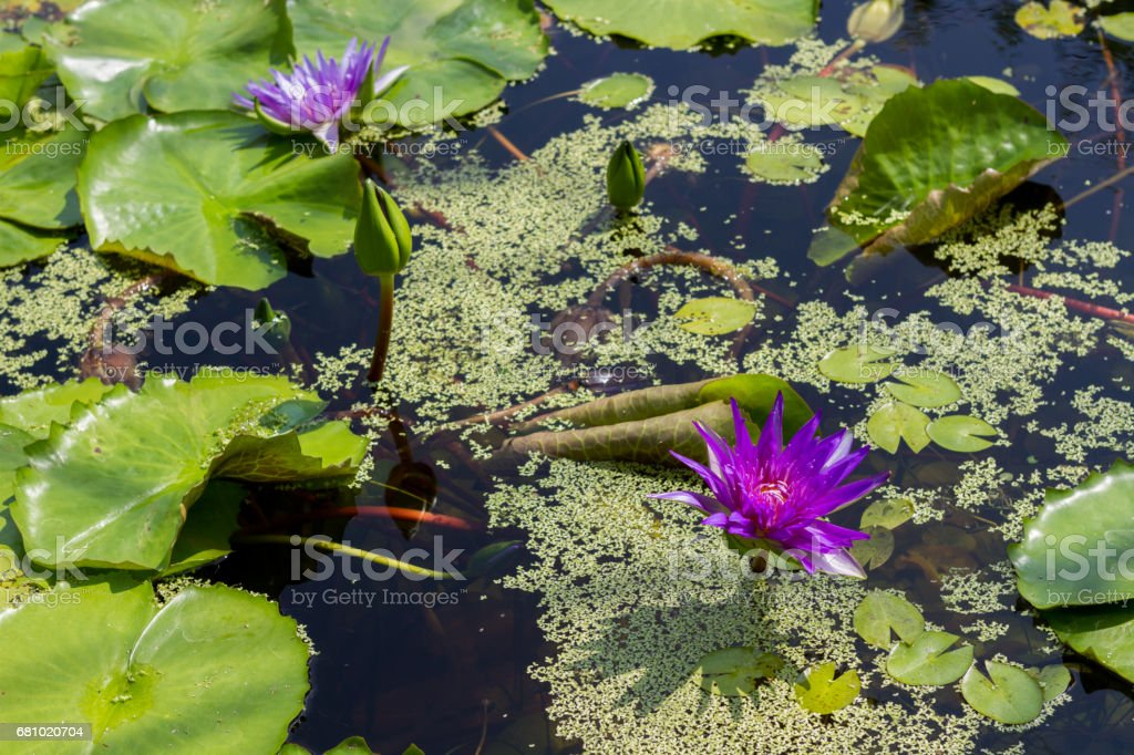 water lily lotus flower and leaves royalty-free stock photo
