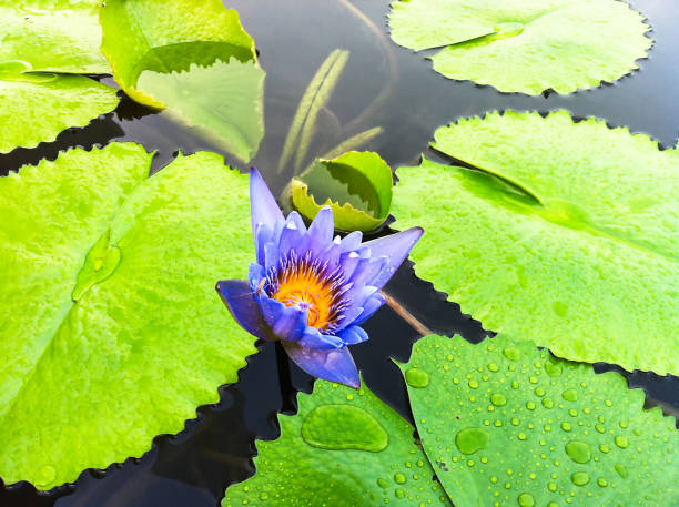 water lily, lotus flower in a pod in Singapore stock photo