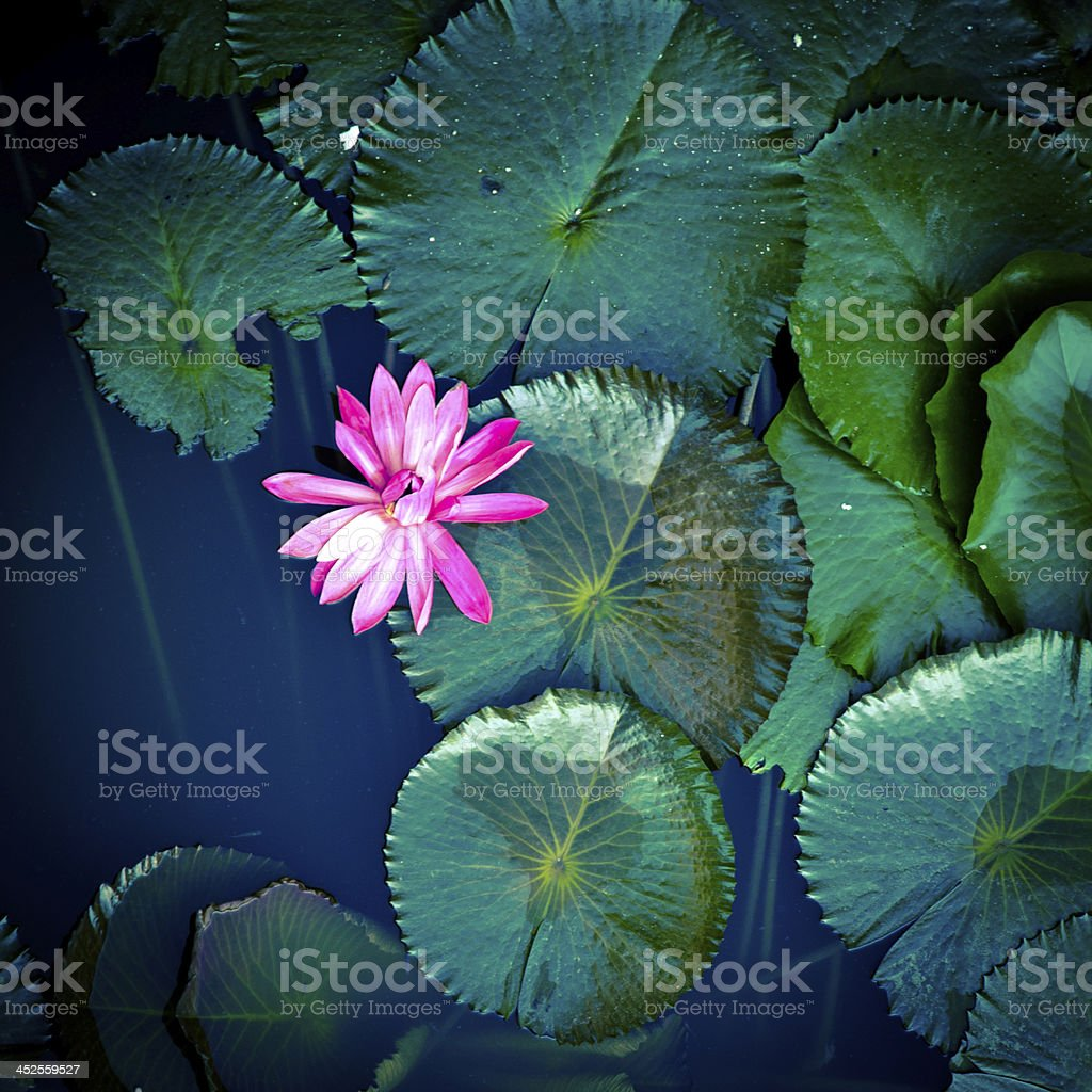 water lily lotus flower stock photo