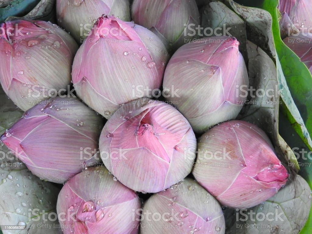 Seerose Lotosblumen in verschiedenen Farben und verschiedenen Sorten