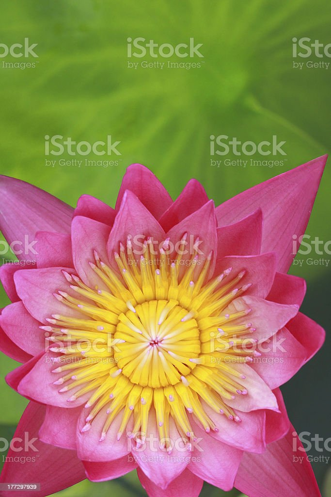 water lily, lotus royalty-free stock photo