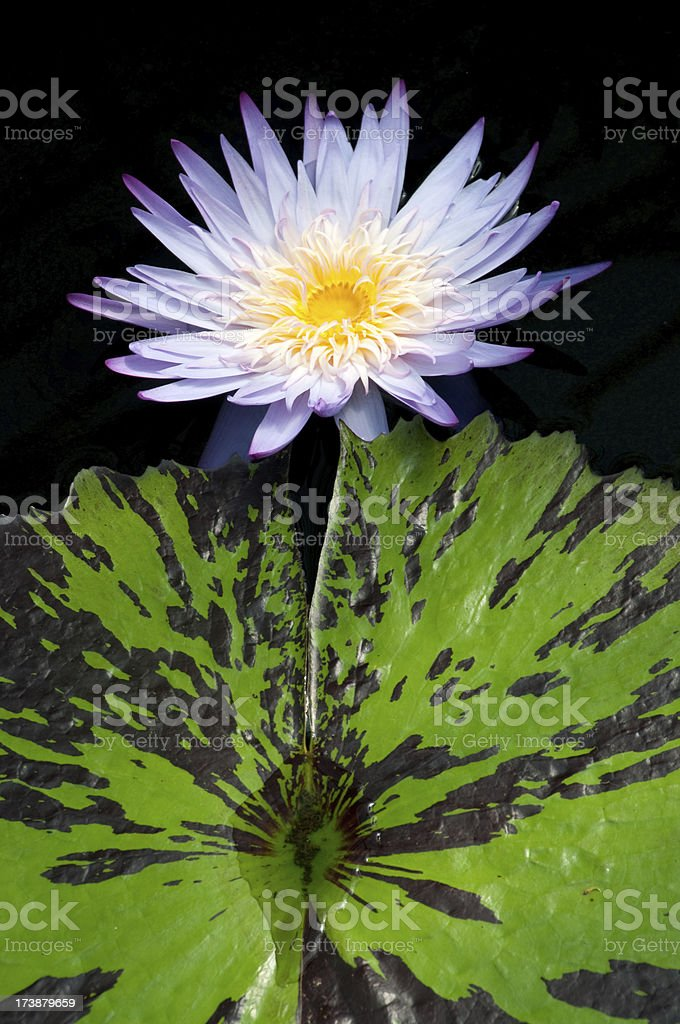 Water Lily Nymphaea Foxfire royalty-free stock photo