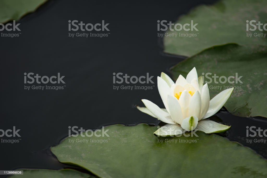 water lily on dark background in the water stock photo