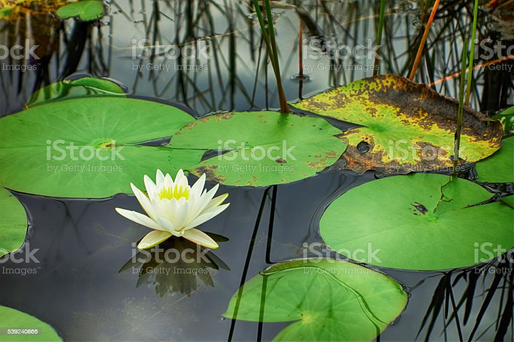Water lily on marsh surface royalty-free stock photo